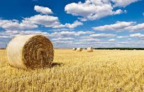 Цветок бадан посадка и уход в открытом грунте