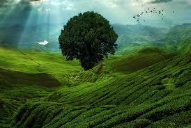 Лучшие сорта желтых слив и их описание