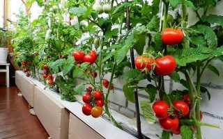 Помидоры Какой сорт можно выращивать на балконе?