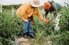 Можно ли выращивать лавровый лист в домашних условиях?