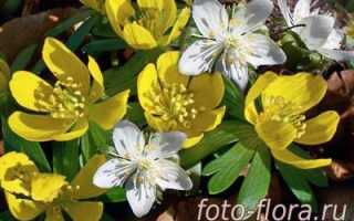 Весенние цветы домашние
