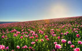 Ремонтантная клубника Выращивание в горшках дома