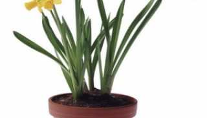 Можно ли в домашних условиях выращивать нарциссы?