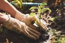 Как выращивать анютины глазки из семян в домашних условиях?