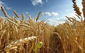 Как выращивают помидоры в теплице из поликарбоната?