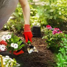 Как выращивать щавель в домашних условиях?