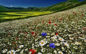 Карпатский колокольчик можно ли выращивать дома