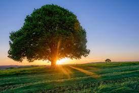 Лучшие сорта тепличных томатов